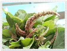 2g Amaranthus spinosus fresh seeds,spiny amaranth,spiny pigweed, from my garden