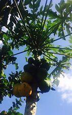 50 Hawaiian Solo Papaya Seeds