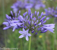 3 New Agapanthus Mariane light blue flowers excellent garden plant