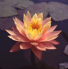 Combo:1 Fertilizer+2 Water Lily Peach/Orange Hardy Nymphaea Peaches/Orange Me019