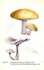 Vintage Mushroom & Fungi Prints ~ Lot of 30 Plates