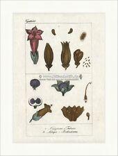 Tabakpflanze Tollkirsche Belladonna Nachtschattengewächse Giftpflanze Buffon 422