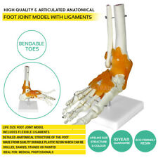 Life Size Human Foot Joint Model Skeleton Model Anatomy Model with Ligaments