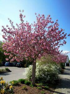 Prunus serrulata Kanzan Hochstamm, japanische Nelkenkirsche, 300cm, Zierkirsche