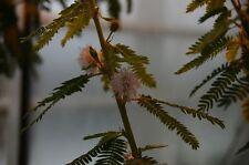 MIMOSA POLYCARPA SPEGAZZINII 10 semi seeds Sensitiva arbustiva Sensitive plant