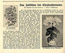 Prof. DR. U. Dammer l'anniversario della Chrysanthemums Pierpont Morgan JAPANIS... 1908
