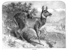 MUSK DEER - Antique Print 1862