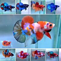 Limit Time Only *Whole Sale Price* Koi and Nemo HM Plakat Live Male Betta Fish +