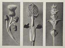 Karl Blossfeldt Ltd. Ed. Photo Gravure Urformen der Kunst Botanical Plant