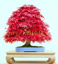 20 maple seeds Japanese bonsai tree maple seed for home garden planting