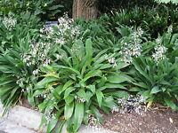 20 Semillas - Lirio de Roca - Arthropodium Cirratum - Jardín - Garden Samen Semi