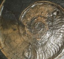 Ammonite- Harpoceras falcifer, German Jurassic fossil, Good Size, Nice View!