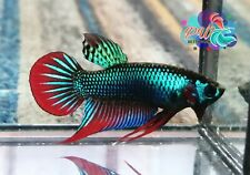 LIVE BETTA FISH BREEDING PAIR GREEN IMBELLIS SIAMORIENTALIS WILD TYPE (WT28)