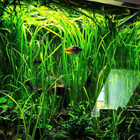 Jungle Val Vallisneria Spiralis Bunch Stems B2G1 Freshwater Live Aquarium Plants