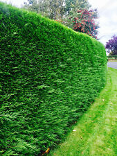 100 Green Leylandii Evergreen Conifer Hedging 30-45cm fast growing