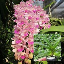 "Thai Orchid Plants Rhynchostylis gigantean 1"" In Pot (Kha x Ambo) Pink Flower"