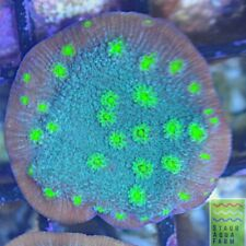 """New listing Saf~ """"Wysiwyg� Hollywood Stunner, Lps, Sps, Coral Colony, Chalice"""