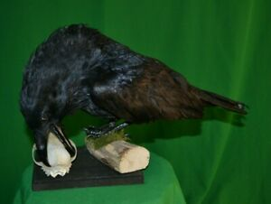 Taxidermy of birds and animals stuffed Raven with skull Handmade August 2021