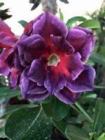 "New! Adenium Obesum Desert Rose /""Fall in Love/"" 100 Seeds !!"