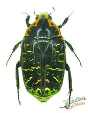 Lightning strike beetle Euchroea urania SET x1 Madagascar insect rare #j01