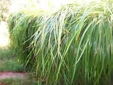 New listing 2 peat pots of sweet grass with 4-5 plants per pot