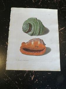 Shells - Wolfgang Knorr, Nuremberg, ca: 1764, Plate IX
