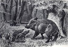 A Family Of European Wild Swine 1894 Mammal Boar Victorian Engraving