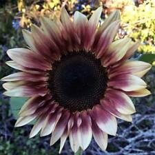 Procut Plum Sunflower Seeds - For Summer Plantings