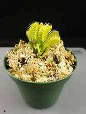 Venus Flytrap Grun Carnivorous Plant