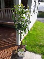 Dwarf Patio Conference Pear Tree, In a 5L Pot, Miniature & Self-Fertile