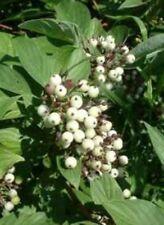 Red Osier Dogwood ... Native ... 30 Seeds