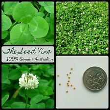 100+ IRISH SHAMROCK SEEDS (Trifolium repens) Flower Medicinal White Clover Green