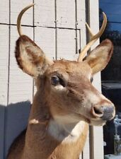 Vintage Taxidermy ~ 4 Point Deer Head~ Nice!