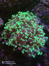 2 heads green hammer coral euphyllia corals lps sps soft hammers marine frag