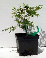 Jaboticaba Myrciaria Cauliflora Brazilian Sabara Grape Plant Fruit pre bonsai