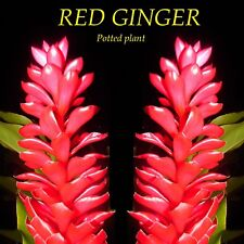 ~HAWAIIAN RED GINGER~ Alpinia purpurata TROPICAL Red Cones LIVE Small Potd PLANT