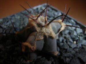 Kaktus, Echinocactus, ingens   EA 1410   *3.9.18