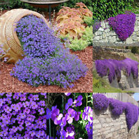 220pcs Aubrieta Deltoidea Seed Romantic Purple Mustard Home Garden Flower Seeds
