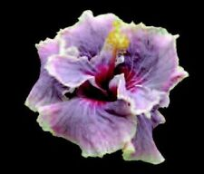 * Madame Dupont * Rooted Tropical Hibiscus Plant*Ships In Pot*
