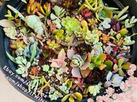 Free Pot  Assorted Succulent Cactus Cutting Rare No Root live plant begginger
