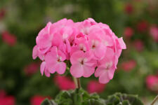 24 Geranium Horizon 'Lavender' Pelargonium Mini Plug Plants for potting on.