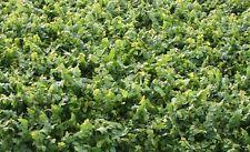 Schleichende/Klettern ABB, Live kalte Pflanze, Ficus pumila repens, Fairy Garden