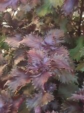 "Red-Leaved Perilla 500+ Seeds / Japanese Aka Shiso / Tia To / ""Tiet To Do"""