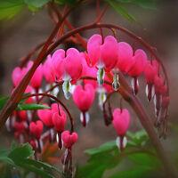 10PCS Bleeding Heart Seeds Dicentra Flower Plant Perennial Herbs Spectabilis New