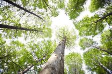 Samen Der seltenste /& skurilste Baum der Welt Urwelt-Mammutbaum winterhart