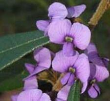 HOVEA acutifolia native purple flowers plant in 140mm pot