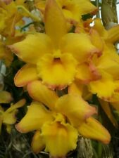 OrchidDendrobium nobile Mellow Heart Yellow Mind 37, cute,10 inches