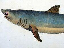 Thomas Pennant 1726-98 - BARKING SHARK - Quarto 23 cm engraving, hand coloured