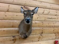 Shoulder Mount Whitetail Deer Doe No Antlers Muledeer Buck Taxidermy Wtd19