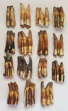 15 Large Fossilized Bison Teeth - Bison Occidentalis - Pleistocene - Kansas